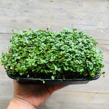 Micro Green Tray- Broccoli